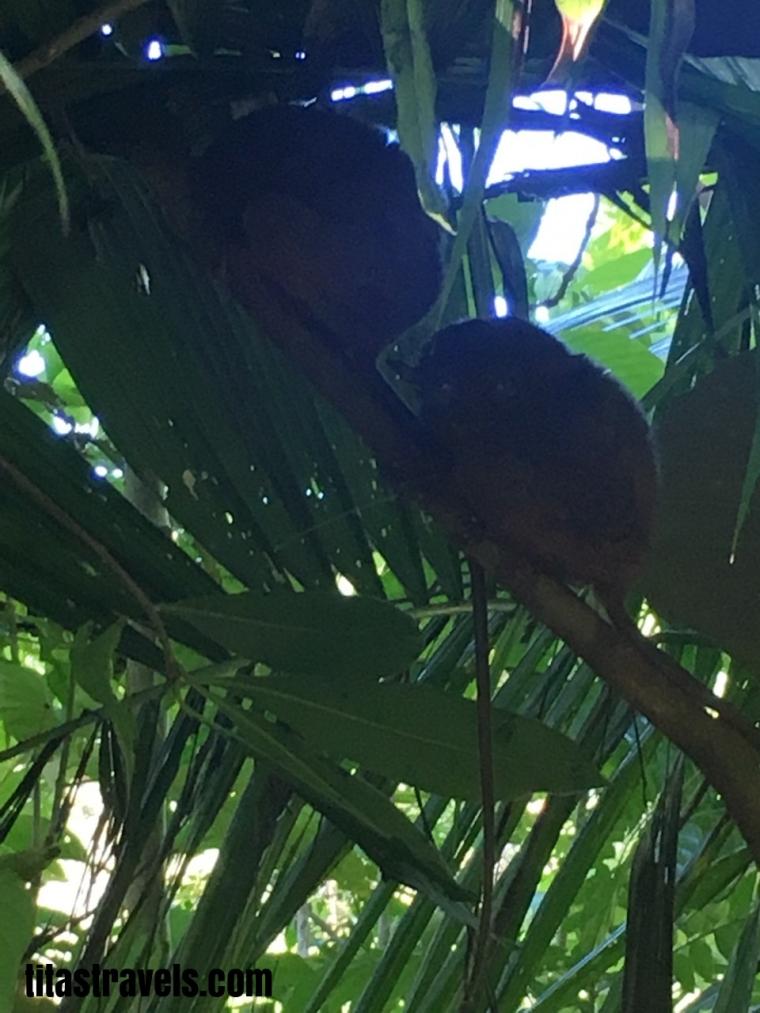 1-tarsier-3-as a pair