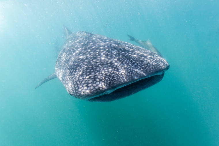 Philippines, Luzon, Sorsogon Province, Donsol, whale shark (Rhincodon typus)